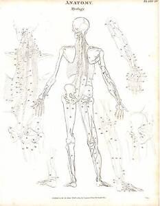 1803 Datierter Aufdruck Anatomie ~Myology~ Hinten Blick Skelett Rücken Diagram