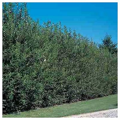 Hybrid Willow Salix Hybrid Tree Rooted Cutting Fast Growing Shipped dormant