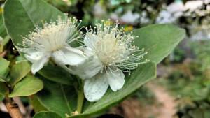 Psidium guajava Allahabad safeda Seeds Abundant Fruit Fast Easy to Grow Guava