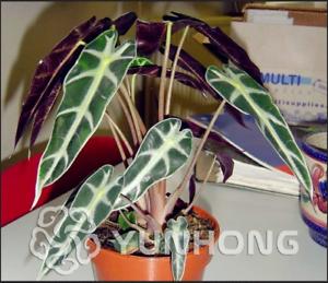Jardin-Feuilles-Noires-Alocasia-Bonsai-plantes-aquatiques-Herba-henryi-50-Pcs-Graines-Nouveau-H