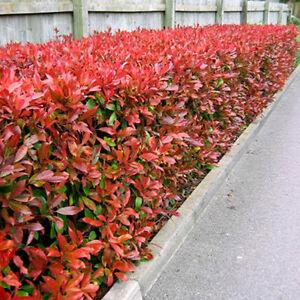 10 X Photinia Red Robin Bushy Evergreen Hardy Shrub Hedging Plant In