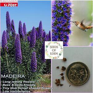 MADEIRA-034-Tower-of-Jewels-034-SEEDS-Echium-fastuosum-Ornamental-plant