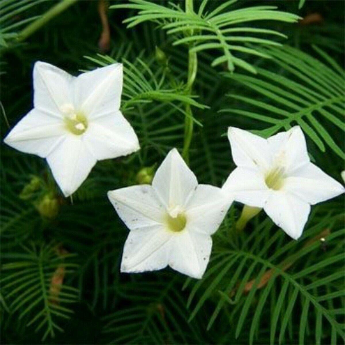 Cypress Vine- White- 10 Seeds - - BOGO 50% off SALE