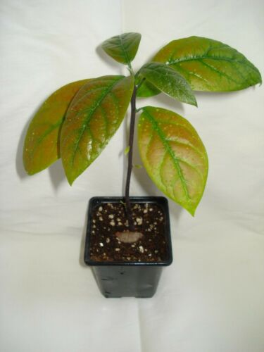 Trees Avocado Tree Seedling Persea Americana Exotic Plant Tree Indoor Future Bonsai Garden Patio Breadcrumbs Ie