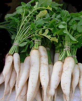 Black Radish seeds 1500 seeds Winter Ukraine Heirloom Vegetable Seeds