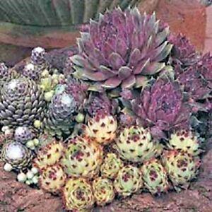 Sempervivum-Species-Mix-Appx-250-seeds-Rockery-border-Houseleeks