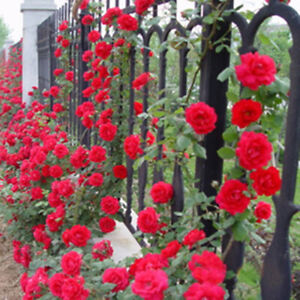 100pcs-Pink-red-Climbing-Rose-Seeds-Perennial-Flower-Garden-Decor-Plant-Seed-JF