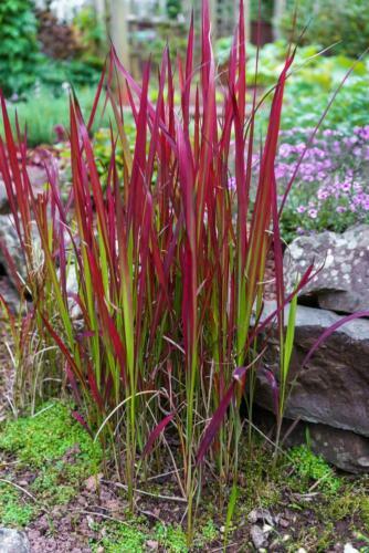 Red Hook Carice Erba Ornamentale 15 semi erba uncinia-Crimson Red tutte le stagioni