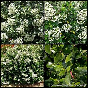 8 escallonia iveyi hardy fast hedge plants shrubs garden white image is loading 8 escallonia iveyi hardy fast hedge plants shrubs mightylinksfo