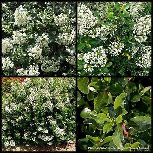 8 escallonia iveyi hardy fast hedge plants shrubs garden white image is loading 8 escallonia iveyi hardy fast hedge plants shrubs mightylinksfo
