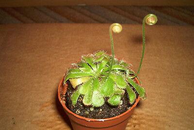 selten Fleischfressende Jungpflanze 3-5cm groß Drosera filiformis Sonnentau