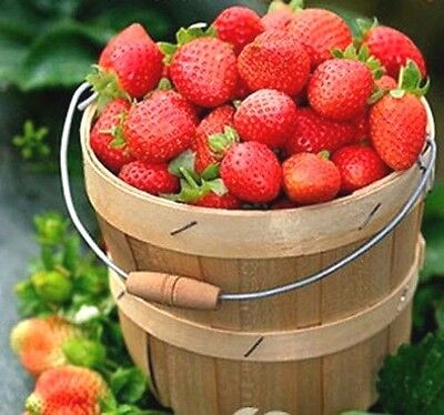 FD607 Home Garden Strawberry Seed Delicious Sweet Fruit Seed 1 Pack / 50 Seeds