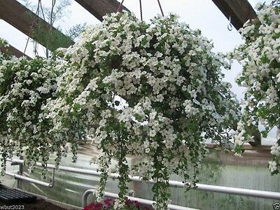 Bacopa (10 Seeds - White) Perfect Flowers for hanging baskets and windowboxes!