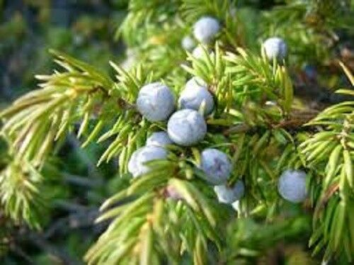 juniperus communis 100 x Common Juniper tree seeds tree shrub seeds.