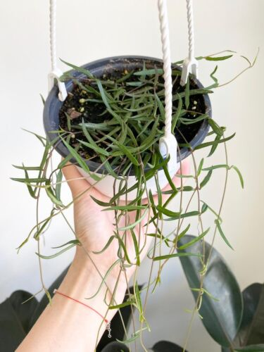 """String of Needles Hanging Basket 6/""""Ceropegia LinearisRosary VineLive Ho"""
