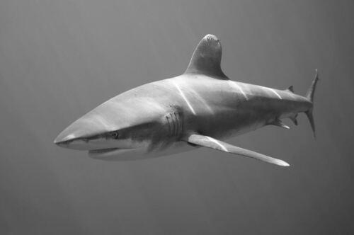 Gravura Emoldurada-Preto E Branco Tubarão nadar no oceano Escuro Profundo Picture