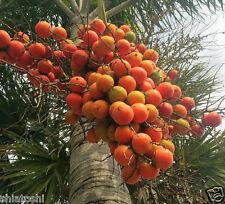 "LIVE- Jahaji Supari -SPP-504  Pack of 4 plants -Hybrid - Betel Nut- 8 "" heigh"