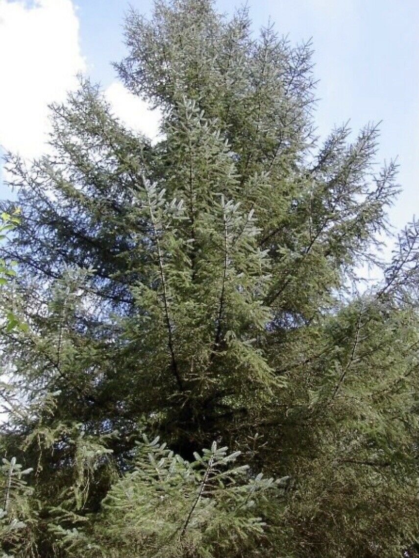 100 Grams Sitka Spruce Seeds - Approx 37,600 Seeds