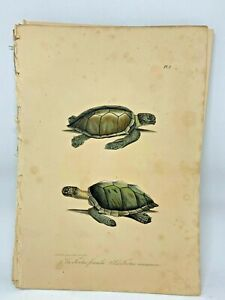 Original-Antique-Lacepede-1832-Hand-Colored-Plate-1-Sea-Turtles