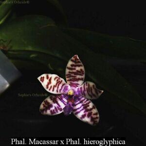 TS421.64 Phal. macassar x Phal. hieroglyphica Bare Root A240