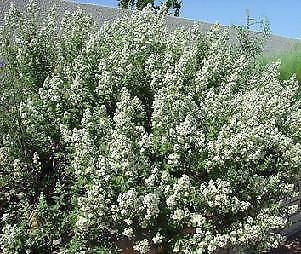 Chamaebatiaria millefolium Fern Bush     250 seeds