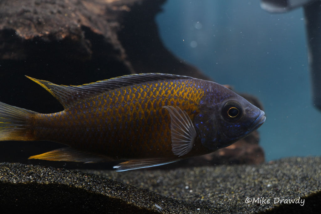 Red Fin Borleyi Copadichromis Kadango Lake Malawi African Cichlids Live Fish