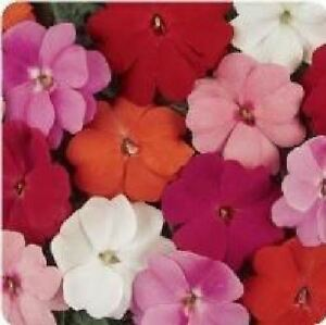 Flower - Impatiens - New Guinea - Divine Mixed F1 - 160 Seeds - Bulk Pack