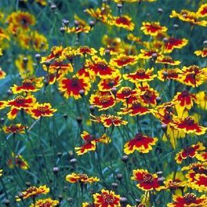 5-000-Plains-Coreopsis-Seeds-FLOWER-SEEDS-Wildflower-Deer-Resistant