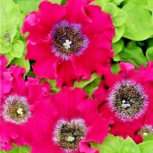 Seeds-flower-Petunia-x-hybrida-superbissima-Bordeaux-F1-from-Ukraine