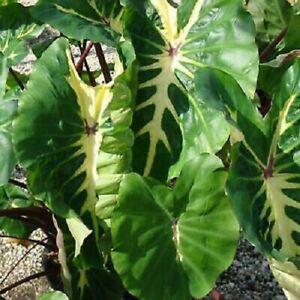 Elephant Ear Bulbs Colocasia Perennial Resistant Tropical Rare