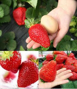 RIESENERDBEEREN-Die-groesste-Erdbeere-der-Welt-034-Giant-034-ca-100-Samen