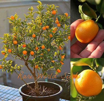 FAST-GROWING! Sweet Kumquat 'Meiwa' (Fortunella crassifolia) Citrus SEEDS.
