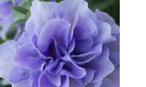 10-X-Calibrachoa-Calita-Millon-Cloches-Double-Bleu-Ciel-Prise-Plantes