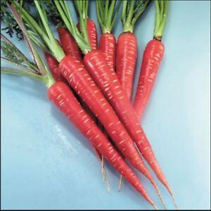 Vegetal Zanahoria Rojo Samurai F1 100 Semillas Economia Paquete Ebay Las semillas de zanahoria las puedes comprar en esta tienda on line y también por teléfono, o mejor aún, en nuestro vivero en galicia. ebay