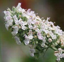 Gatti veri menta-Nepeta Cataria - 100 semi aiuole e di sezione perenne