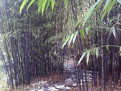 40 Seeds Rare Beijing Purple Bamboo Garden Seeds USA SELLER! FAST SHIPPING!