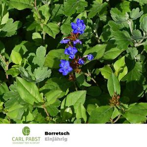 Borretsch 70 Samen Borago Officinalis Kukumerkraut Gurkenkraut