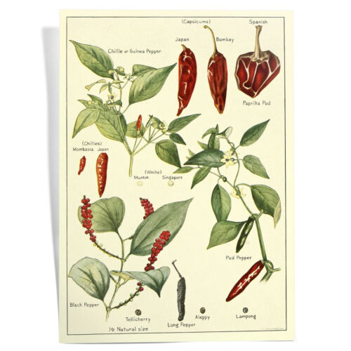 A4 Framed Chilli Lover Hand Drawn Botanical Drawing Food Art Poster Print
