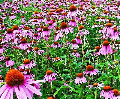 ECHINACEA PURPUREA 35 seeds MEDICINAL HERB flower garden purple coneflower