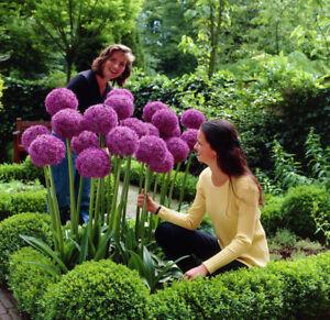 RIESEN-LAUCH-Allium-giganteum-30-Samen-Pack-Zierlauch-Winterhart