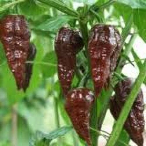 UK Venditore Peperoncino CHOCOLATE BHUT Jolokia Ghost semi di peperoncino 100/% genuino