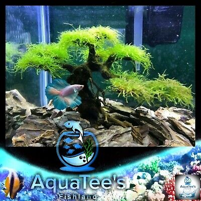 Bonsai Tree For Aquascape Driftwood Live Aquarium Plant Fish Tank Nano No Moss Ebay