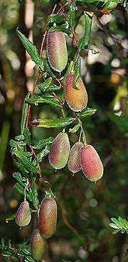 FALSO KIWI de TAZMANIA  comestible 200 semillas// seeds