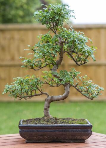 der Pfefferbaum gibt einen wunderbaren Miniaturbaum auch Bonsai genannt.