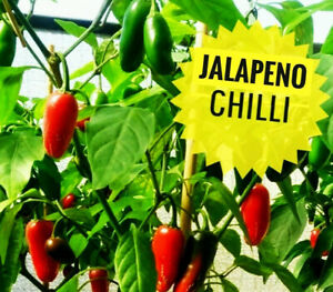 UK Seller 10 Jalapeno Chilli Seeds Red Green Chili Pepper