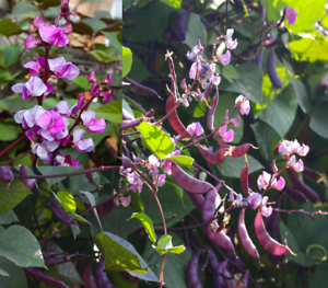 Hyacinth Bean Helmbohne 5 Samen Dolichos Lablab