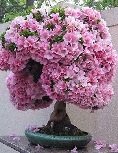 10 Seeds Japanese Flowering Cherry Blossom Bonsai Tree Sakura For