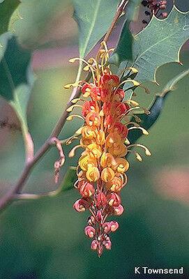 Deaf Adder Gorge Grevillea (Grevillea aurea) - 10 Seeds