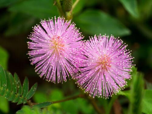 a de beaux fleurs et réagit aux attouchements! la vraie mimosa