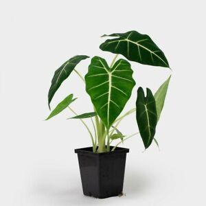 "Alocasia Frydek Houseplant Green Velvet African Mask Plant 6/"" Pot"